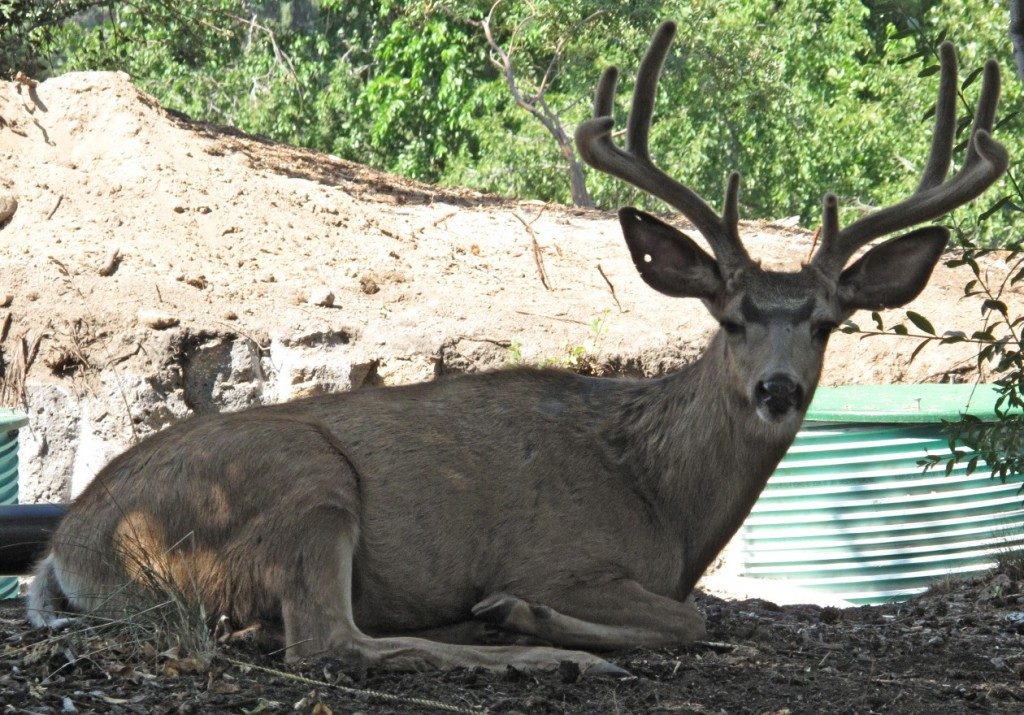 Excavators and people don't seem to bother the resident buck as he takes an afternoon siesta under the apple tree.